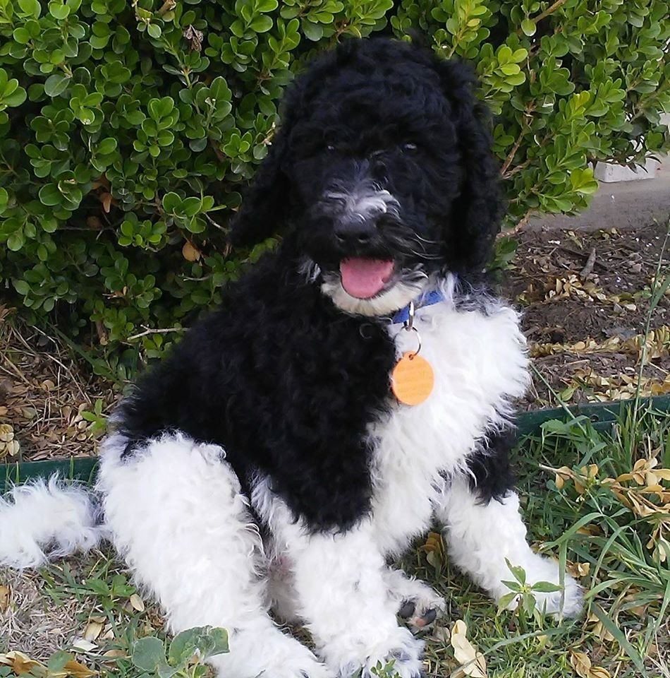 Texas Sheepadoodle Breeder Sheepadoodle Puppies For Sale